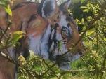 Cindys Tiger